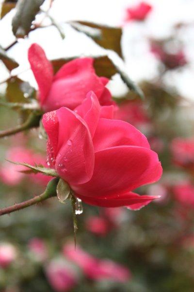 morning_rain_drop_by_justgddyup