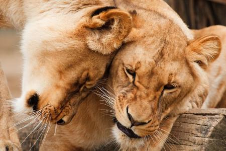 big-cats-head-bump