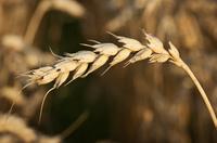 wheat-1293345